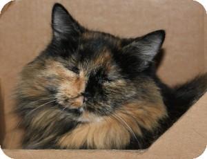 Calico Cat for adoption in Victoria, British Columbia - Emily