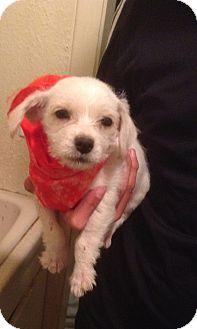Pug/Westie, West Highland White Terrier Mix Puppy for adoption in Santee, California - Monkey