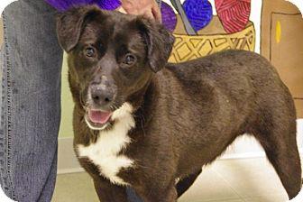 Labrador Retriever Mix Puppy for adoption in Elyria, Ohio - Roxanne