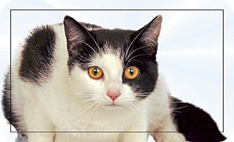 Domestic Shorthair Cat for adoption in Newland, North Carolina - Marilyn
