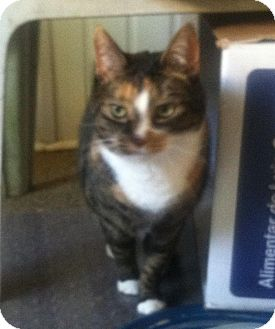 Domestic Shorthair Cat for adoption in Horsham, Pennsylvania - Pumpkin