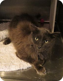 Domestic Longhair Cat for adoption in Geneseo, Illinois - Mr. Mann