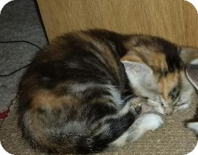 Domestic Shorthair Kitten for adoption in Fairborn, Ohio - Jackie-Lade foster
