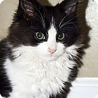 Adopt A Pet :: Domino - Xenia, OH