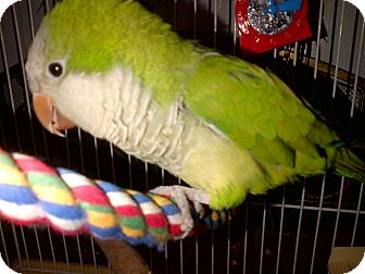 Parakeet - Quaker for adoption in Middle Island, New York - Buddy