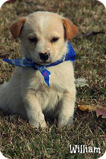 Labrador Retriever Mix Puppy for adoption in Cranford, New Jersey - William