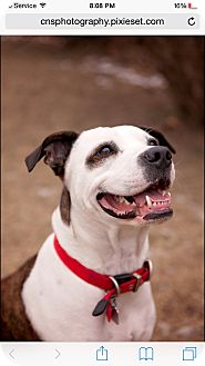 American Bulldog Mix Dog for adoption in Red Lion, Pennsylvania - Jack