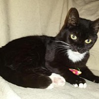 Domestic Shorthair Cat for adoption in Iroquois, Illinois - Angelina