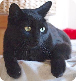Bombay Cat for adoption in Buhl, Idaho - Sherlock