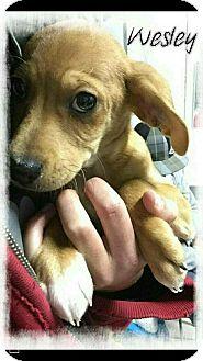 Blue Heeler/Australian Shepherd Mix Puppy for adoption in Mandeville, Louisiana - Wesley