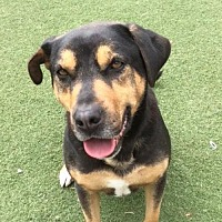 Shepherd (Unknown Type) Mix Dog for adoption in Midway City, California - Donut