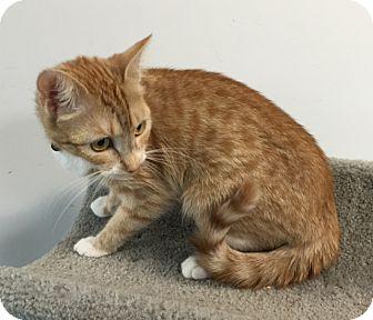 Domestic Shorthair Cat for adoption in Fairfax, Virginia - Mini