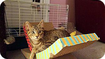 Domestic Shorthair Kitten for adoption in Kalamazoo, Michigan - Fargo - Chelsea