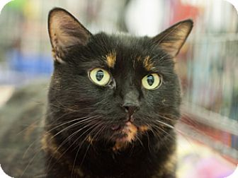 Domestic Shorthair Cat for adoption in Great Falls, Montana - Black Jackie