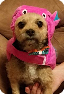 Yorkie, Yorkshire Terrier/Chihuahua Mix Dog for adoption in Ogden, Utah - Tempe