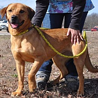 Labrador Retriever Mix Dog for adoption in Sunrise Beach, Missouri - Scooby