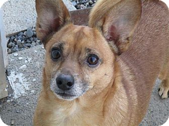 Chihuahua Mix Dog for adoption in Liberty Center, Ohio - Maxwell