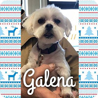 Maltese Mix Dog for adoption in Garden City, Michigan - Galena