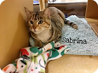 Domestic Shorthair Cat for adoption in Foothill Ranch, California - Sabrina