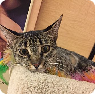 Domestic Shorthair Cat for adoption in Jackson, New Jersey - Sylvie