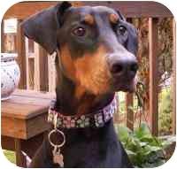 Doberman Pinscher Dog for adoption in Arlington, Virginia - Allie