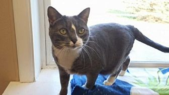 Domestic Shorthair Cat for adoption in Attica, New York - Lily