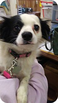 Chihuahua/Papillon Mix Dog for adoption in Okmulgee, Oklahoma - Jueliet