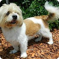 Lhasa Apso Dog for adoption in Columbus, Nebraska - Ruben