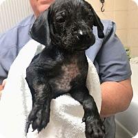 Adopt A Pet :: Cemetary Puppy 1***HOLD** - New Smyrna Beach, FL