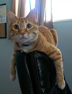 Domestic Shorthair Cat for adoption in Northglenn, Colorado - Tempi & Capt'n Jack