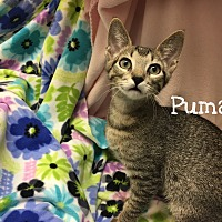 Adopt A Pet :: Puma - Foothill Ranch, CA