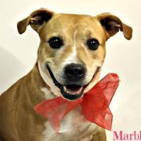 Adopt A Pet :: Marble - Lake Havasu City, AZ