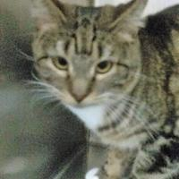 Domestic Shorthair/Domestic Shorthair Mix Cat for adoption in Rio Rancho, New Mexico - Minky