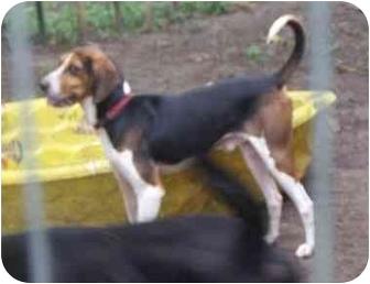 Treeing Walker Coonhound Dog for adoption in Swartz Creek, Michigan - Chance