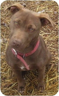Weimaraner/Pit Bull Terrier Mix Dog for adoption in Tahlequah, Oklahoma - Bronwyn
