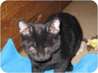 Domestic Shorthair Kitten for adoption in Port Republic, Maryland - Stevie