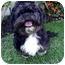 Photo 3 - Lhasa Apso/Shih Tzu Mix Dog for adoption in Los Angeles, California - BOSCO