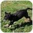 Photo 3 - Australian Shepherd/Rottweiler Mix Puppy for adoption in Portland, Maine - Teddy Bear