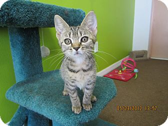Domestic Shorthair Kitten for adoption in Bunnell, Florida - Tiger