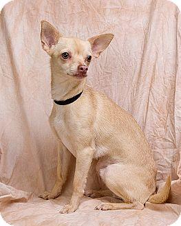 Chihuahua Mix Dog for adoption in Anna, Illinois - ELIJAH