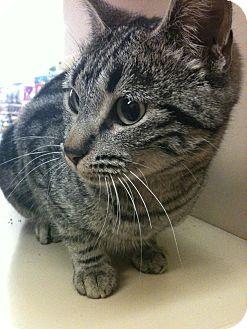 Domestic Shorthair Cat for adoption in Yuba City, California - Gaby