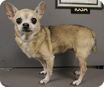 Chihuahua Dog for adoption in Houston, Texas - MS.GRACE (ADOPTION PENDING)