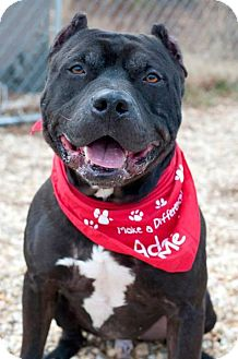 Staffordshire Bull Terrier Mix Dog for adoption in Manahawkin, New Jersey - Harley