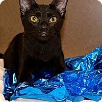 Adopt A Pet :: Shami - Chandler, AZ