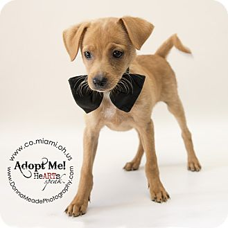 Pomeranian/Chihuahua Mix Puppy for adoption in Troy, Ohio - Dudley