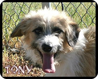 Dachshund/Terrier (Unknown Type, Small) Mix Puppy for adoption in Estancia, New Mexico - Tony