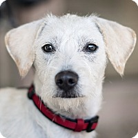 Adopt A Pet :: Dimples - Kingwood, TX