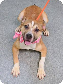 Pit Bull Terrier/Spaniel (Unknown Type) Mix Dog for adoption in Ridgewood, New Jersey - DANCER