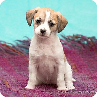 Poodle (Miniature)/Terrier (Unknown Type, Small) Mix Puppy for adoption in San Marcos, California - Cooper