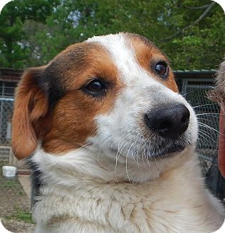 Terrier (Unknown Type, Small)/Beagle Mix Dog for adoption in Westport, Connecticut - *Simon - PENDING